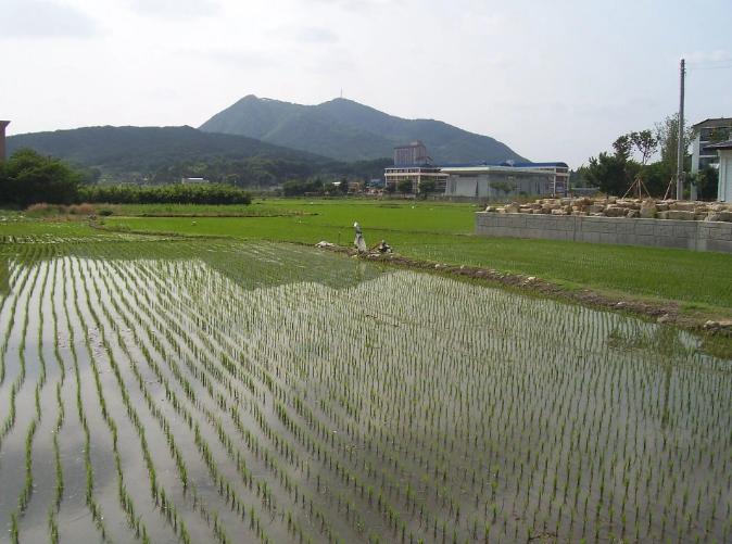 Рисовые поля в Южной Корее